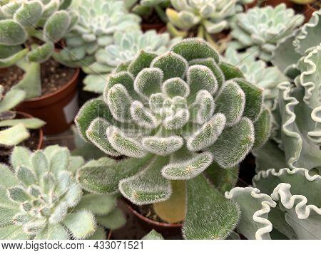 Succulent Echeveria Bristly (latin - Echeveria Setosa) Beautiful Ornamental Plant