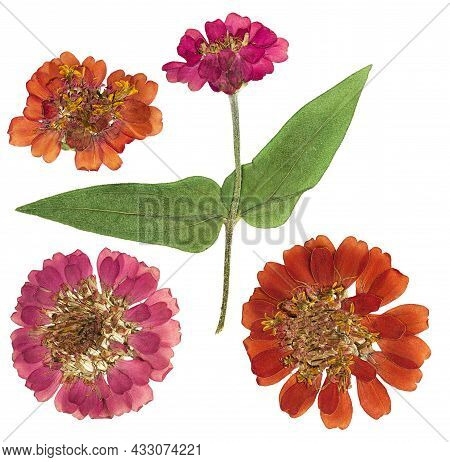 Pressed And Dried Flowers Zinnia. Isolated On White Background. For Use In Scrapbooking, Floristry O