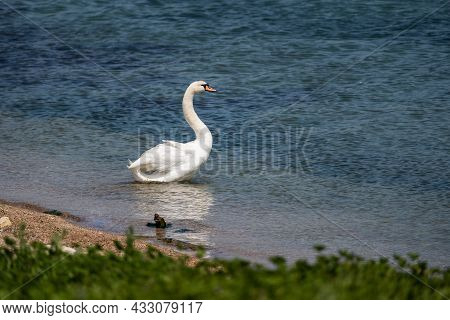 A White Swan Enters The Water From The Shore. Lake Bird. Romantic Animal. A Symbol Of Love And Fidel