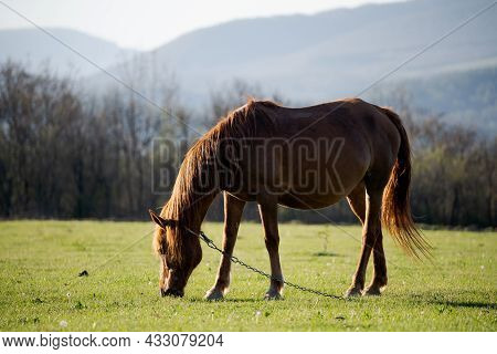A Bay Horse Grazes On A Green Meadow. She Eats Fresh Grass In The Village And Her Mane Is Illuminate