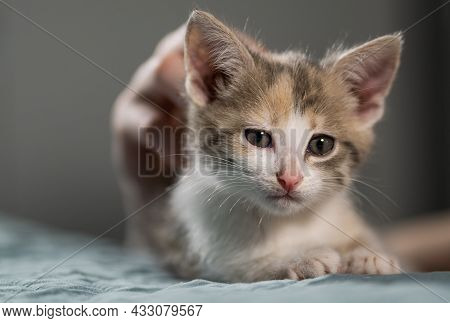 A Female Hand Is Stroking A Cute Tricolor Kitten. Mans Love For His Pets. Caress And Tenderness.