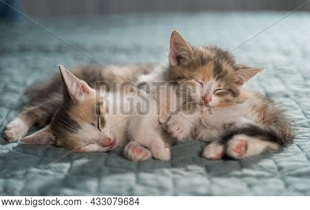 Two Tricolor Kittens Sleep On Top Of Each Other On A Blue Blanket. Bright Bedroom With Pets. Favorit