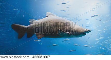 Dangerous shark swimming underwater. Marine life