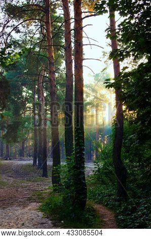 Row Of Pine Trees In The Forest. Scenic Morning Landscape During Sunrise. Rays Of The Sun Shine Thro