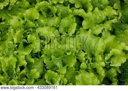 Close Up Sprouts Of Fresh Spring Green Lettuce Leaves Growing On Vegetable Garden Bed In Open Ground
