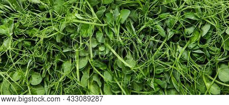 Close Up Fresh Green Peas Microgreen Sprouts Background, Elevated Top View, Directly Above