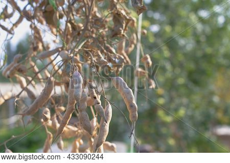 Radish Fruits Are Dried In The Garden To Obtain Radish Seeds.