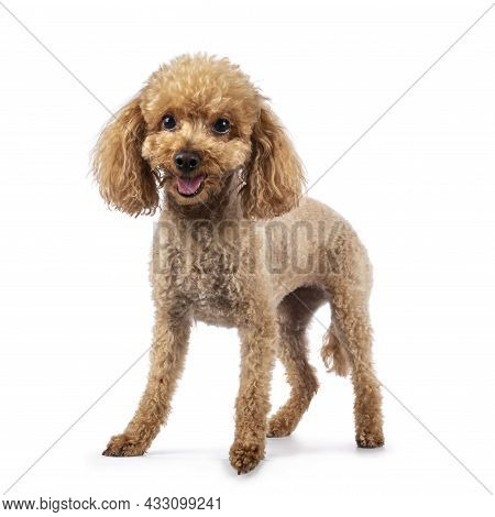 Adorable Young Adult Apricot Brown Toy Or Miniature Poodle. Recently Groomed. Standing Facing Camera