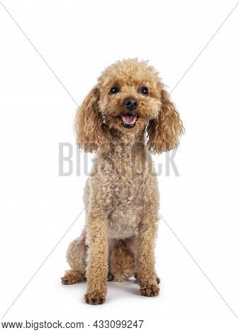 Adorable Young Adult Apricot Brown Toy Or Miniature Poodle. Recently Groomed. Sitting  Facing Camera