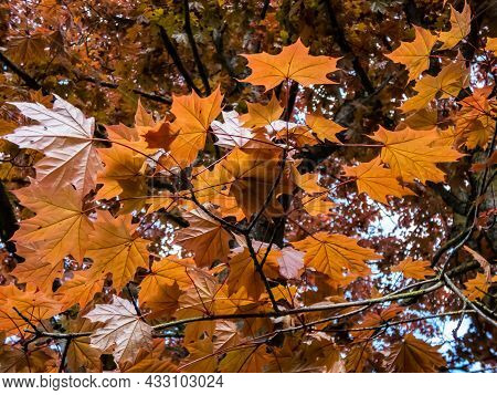 View From Ground On Branches Of Norway Maple (acer Platanoides) 'schwedleri' With Dense Foliage, Bro