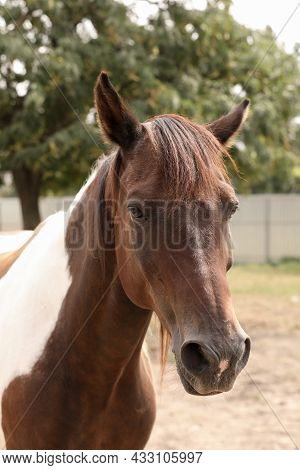 Beautiful Brown Horse In Paddock At Zoo