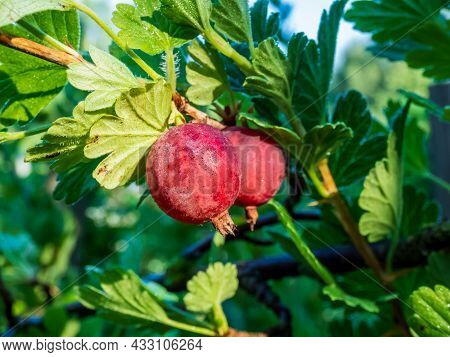 Red, Ripe Gooseberries (ribes Uva-crispa) Growing On Branch Surrounded With Green Leaves In Summer M