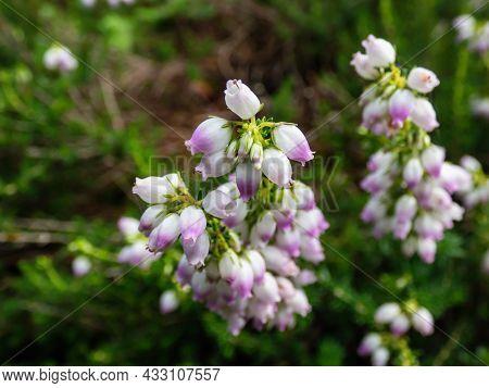 Close Up Shot Of Evergreen Shrub Bell Heather (erica Cinerea) 'eden Valley' With Dark-green Foliage,