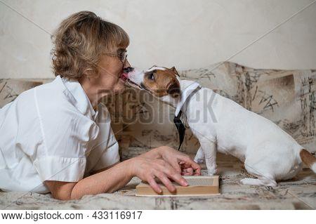 Dog Jack Russell Terrier Licks Face Of Elderly Caucasian Woman.