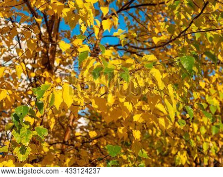 Bright Golden Autumn. Yellow Leaves Of Trees Against The Blue Sky. Close-up.