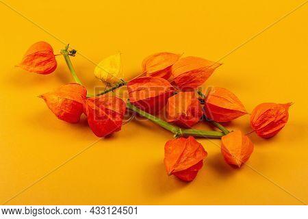 Physalis Alkekengi Or Chinese Lantern Isolated On Yellow Background. Orange Lampion Flowers On Branc