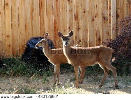 Two Deer In Backyard In Nanoose, British Columbia On Vancouver Island