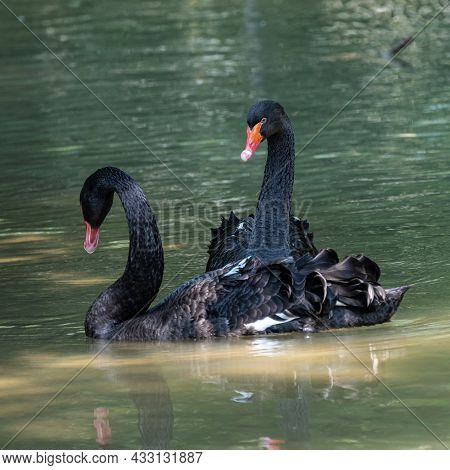 The Black Swan, Cygnus Atratus Is A Large Waterbird, A Species Of Swan Which Breeds Mainly In The So