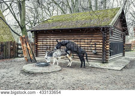 Donkey Mating. A Black Domestic Donkey Climbs On A Gray One