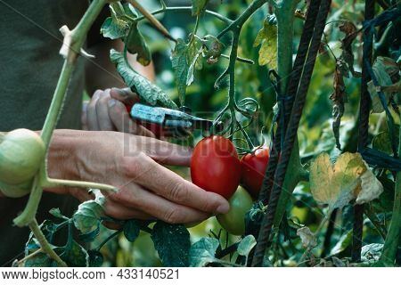 closeup of a young caucasian man collecting ripe tomatoes using a pair of pruning shears in a plantation
