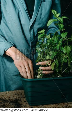 closeup of a caucasian man, wearing a gray working coat, planting some culinary herbs, such as parsley and mint, in a green plastic window box