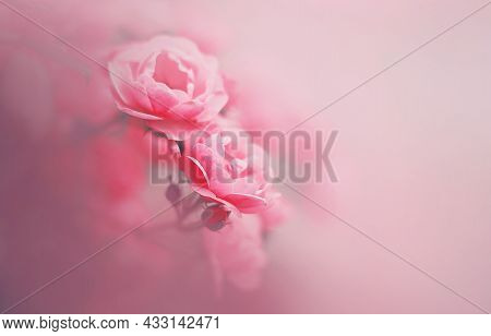 The Flowers Of A Pink Fragrant Beautiful Rose With Delicate Petals Bloom On A Bright Foggy Spring Da