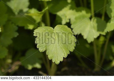 Parsnip Leaves - Latin Name - Pastinaca Sativa