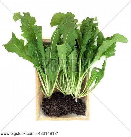 Rocket plants with green leaves and roots in soil in wooden box. Immune system boosting health food high in antioxidants, vitamins,  minerals. On white background, flat lay, top view. Eruca sativa