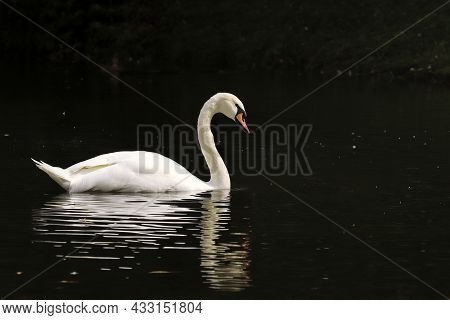 White Swan Swim In The Pond Of The Park.