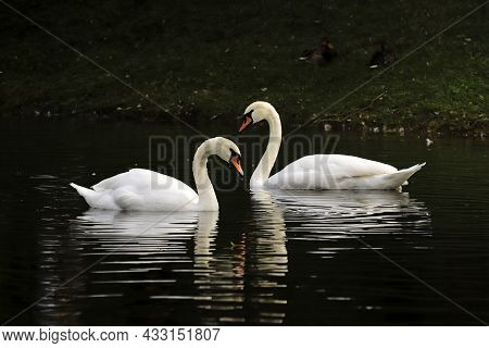 White Swans Swim In The Pond Of The Park.