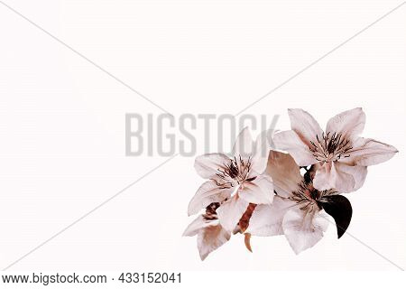 Floral Background With Clematis Flowers In The Corner And Copy Space