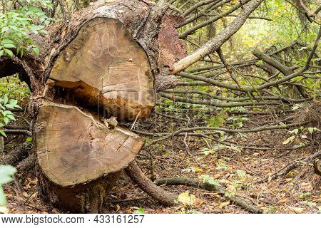 View Of A Coniferous Tree With Branches Lying On The Ground In An Autumn Forest And Split In Half