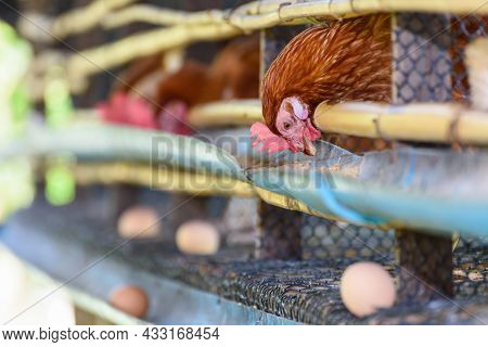 Brown Hens Feed On Animal Food And Egg Production From Laying Hen Farm, Simple Chicken Husbandry Low