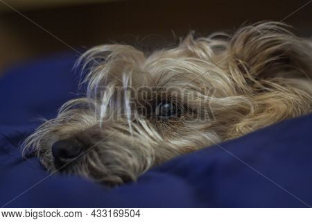 Beautiful Dog Sleeping On The Bed. Cairn Terrier Dog.