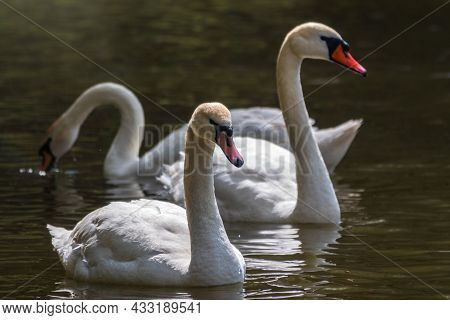 Graceful White Swans Swimming In The Lake, Swans In The Wild