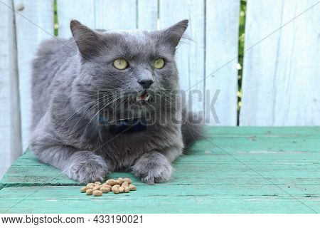 A Cute, Hungry Long-haired Gray Cat Sits Next To Food On The Table And Looks At The Camera. Pet, Fee