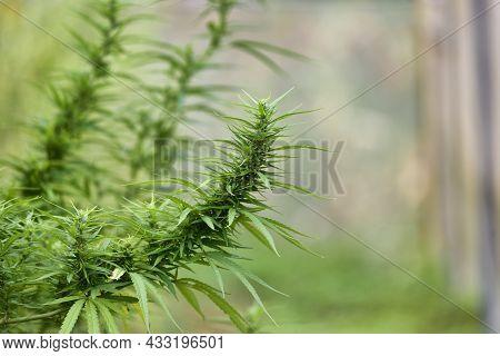 Marijuana, Plant Flowers, Cannabis Plant Concept Of Herbal Alternative Medicine, Cbd Oil, Pharmacept