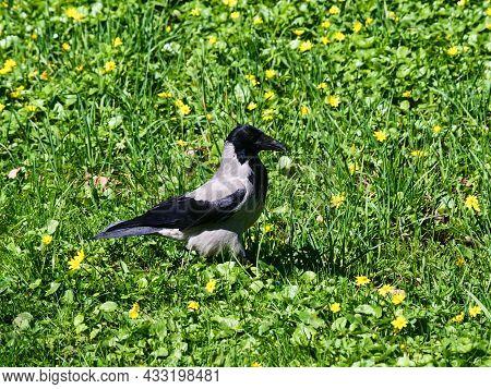 A Crow Walks On Green Grass Among Yellow Flowers.