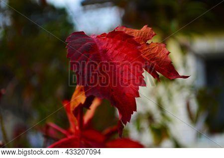 Beautiful Virginia Creeper Parthenocissus Quinquefolia Foliage In Autumn