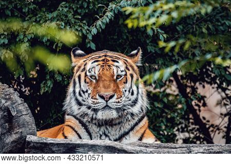 The Siberian Tiger (panthera Tigris Tigris) Also Called Amur Tiger (panthera Tigris Altaica) In The