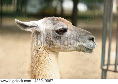 Cute Guanaco In Zoo, Closeup. Wild Animal