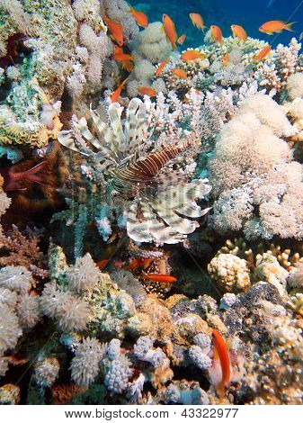 Red Sea Lionfish