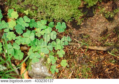Shamrock Bright Green Clover And Moss On Tree Bark Background Top View