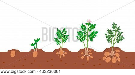 Potato Plant Growth Cycle. Stages Of Growing Of Potato Vegetable Plant In Ground. Vector Illustratio