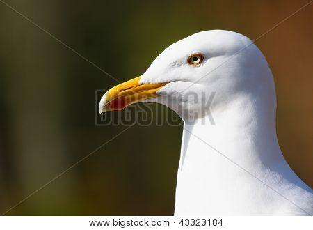 Adult Herring Gull (Larus argentatus)