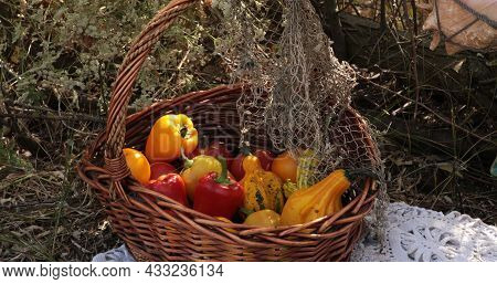 Fall Harvesting Still Life Of Red Tomatoes, Yellow Bell Peppers And Orange Pumpkins In Vintage Wicke
