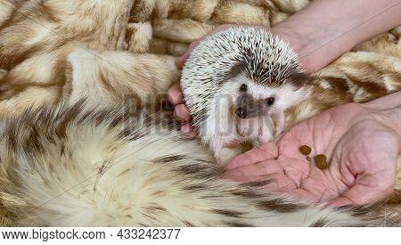 Hands Holding Little African Hedgehog, Domestic Pet, On Brown Fake Fur Background