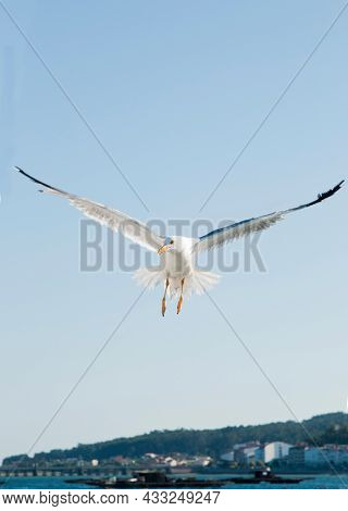 View Of A Seagull With Open Wings Seen From Its Front. Galicia, Spain. Europe