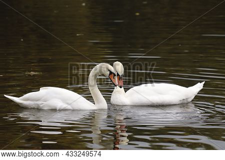 Communication Of White Swans In A Pond.