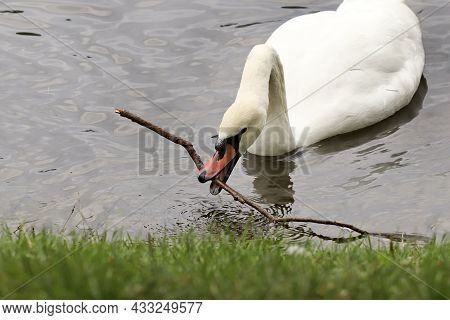 The Swan Grabbed A Stick In The Pond.